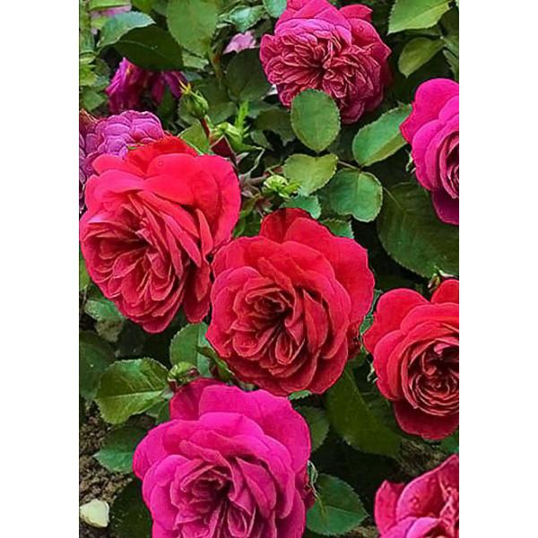Роза флорибунда Сангрия