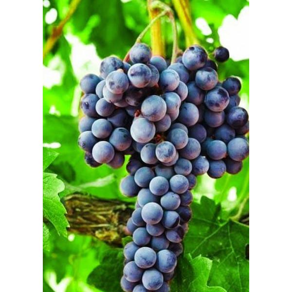 Виноград Августа