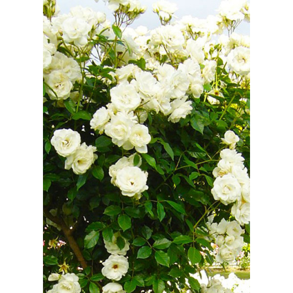 Роза плетистая Айсберг