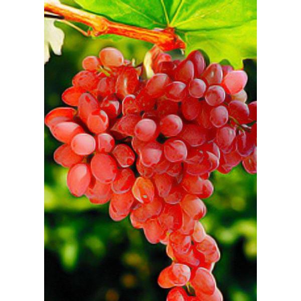 Виноград Лучистый