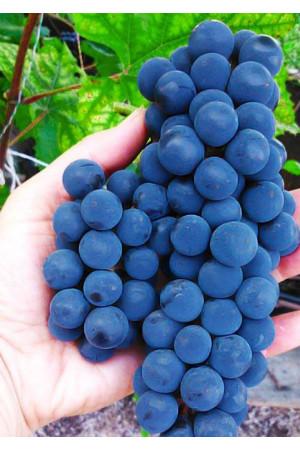 Виноград Альфа