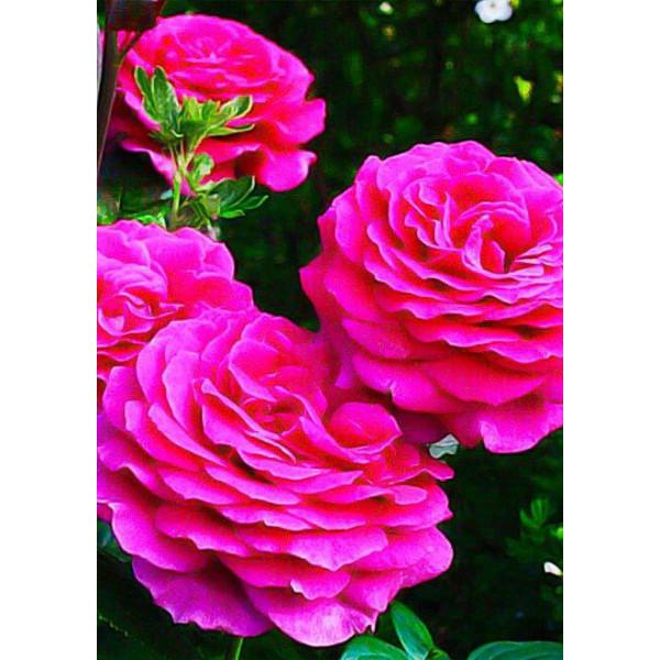 Роза чайно-гибридная Бич пепл