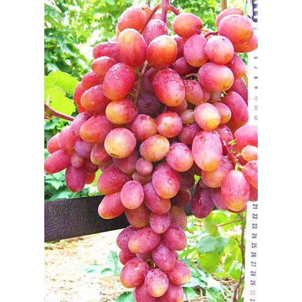 Виноград Юлиан
